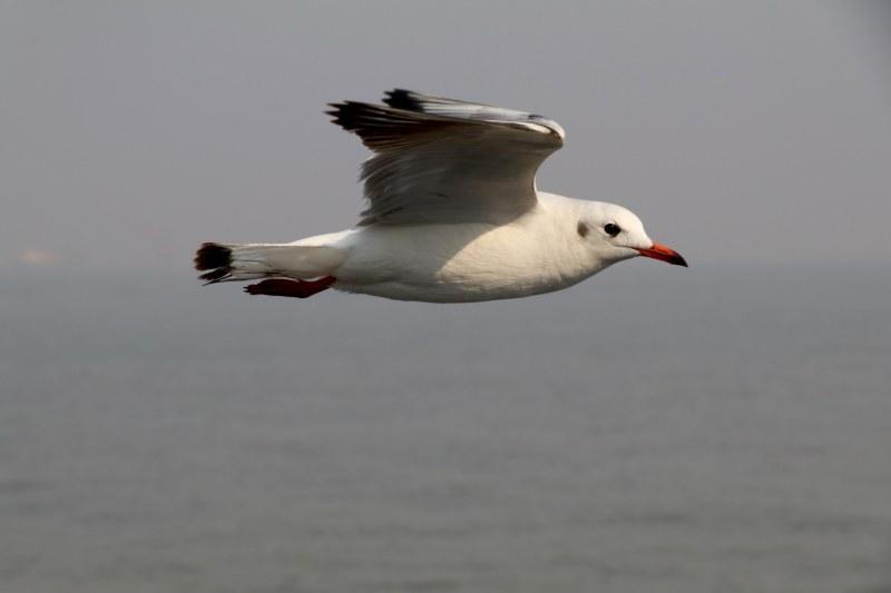 elephanta seagull
